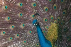 Peacocking Peacocks